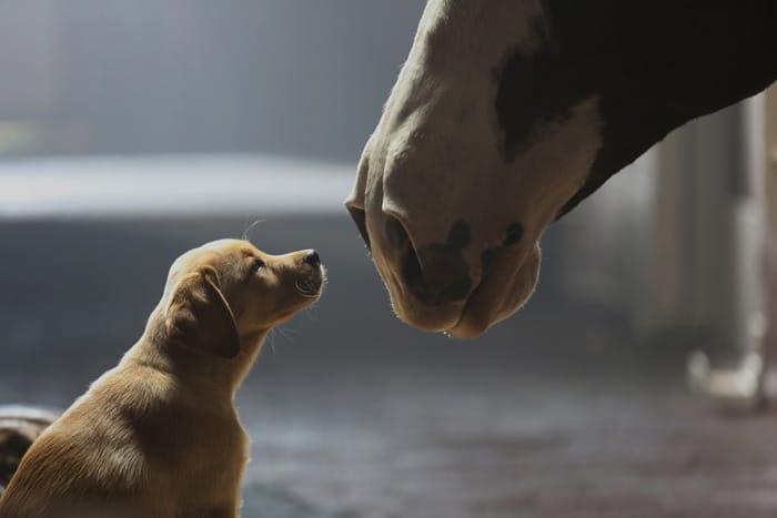 """Bia Budweiser và câu chuyện """"Puppy love"""" cảm động"""